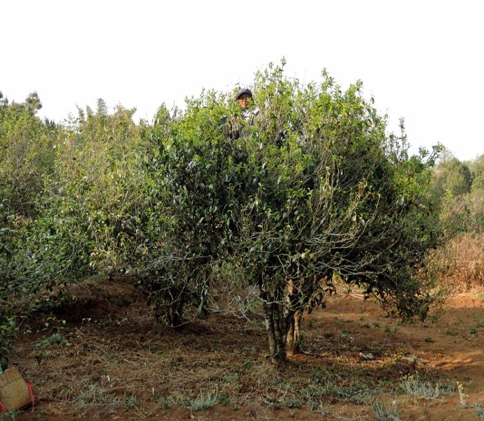 岩岸古树茶区,2014年春芽已发,采茶,自然环境生态